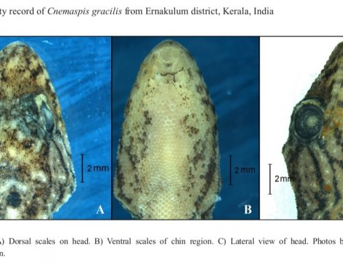 New locality record of the slender day gecko Cnemaspis gracilis (Beddome, 1870) from Ernakulam district, Kerala India with behavioural observations. Herpetology Notes.